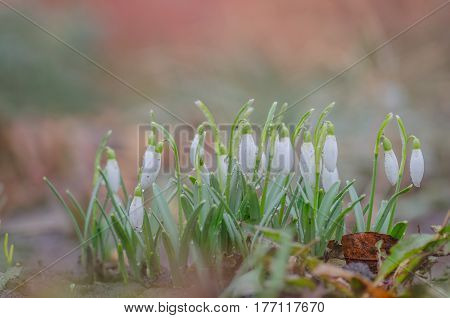 Snowdrop Flower In Nature