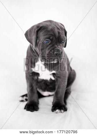 Cane Corso puppy gets out of the box on a white background