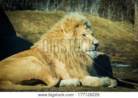 White male lion relaxing on a hot day in field