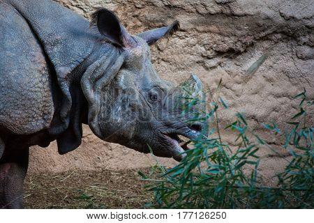 White rhinoceros eating plants near rocks side view