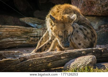 Wild hyena resting near his cave entrance
