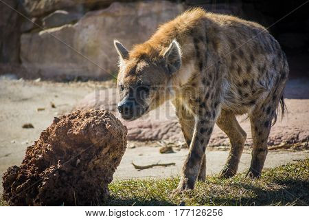 Wild hyena searching for prey near his cave close up