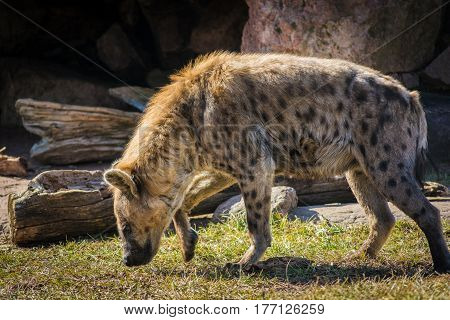 Wild hyena searching for prey near his cave