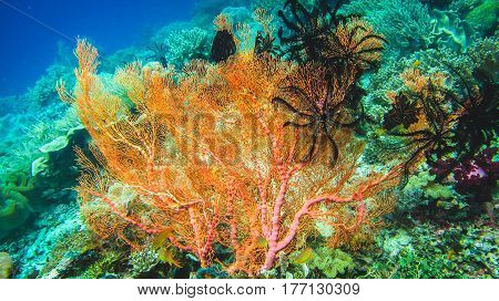 Colorful soft coral reef and diver in Raja Ampat, Indonesia.