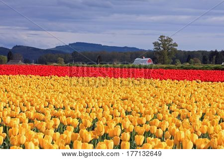 Sunlit Field of Yellow and Red Tulips with a Red Barn in the Background