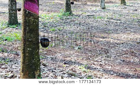 Raw latex rubber in the rubber trees garden. The large plantation area.