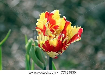 Frilly Red and Yellow Tulip Just Beginning to Bloom