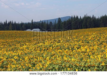White Farmhouse in a Field of Yellow Sunflowers