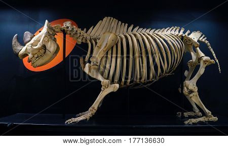 Complete Rhinoceros Skeleton In The Veterinary Anatomy Museum