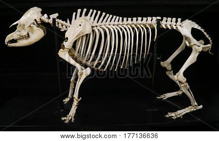 Complete Tapir Skeleton Isolated With Black Background