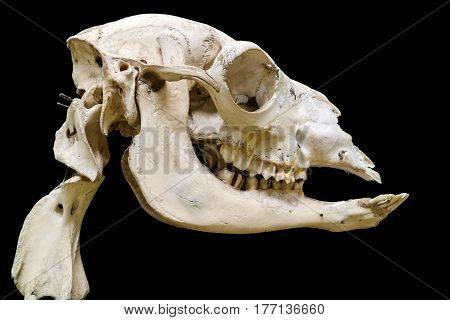 Detail Of Skeleton Isolated With Black Background