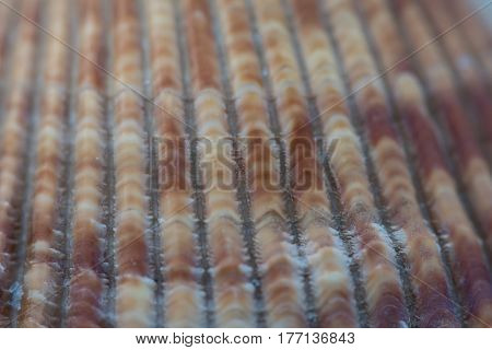 Furrowed Texture on Brown Sea Shell background