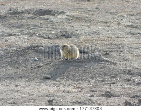 The Badlands Prairie Dog above hole in ground