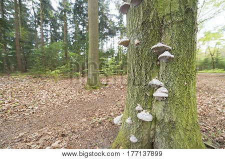 Many tinder fungus on tree in the forest