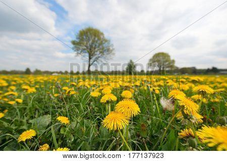 Field with Dandelions in landscape