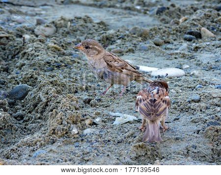 The two brown sparrows on the beach