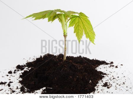 Young Tree Sapling