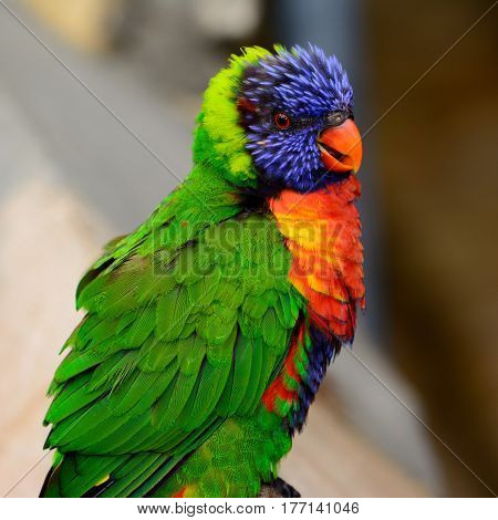 Rainbow lori (Trichoglossus moluccanus) with vivid eyes and plumage. Also called a lorikeet