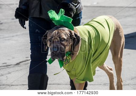 Montreal Canada - 19 March 2017: a dog is waering green clothes at Montreal's St. Patrick's parade