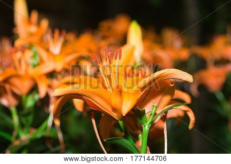 flowers orange lilies bloom among green leaves in nort of Thailand