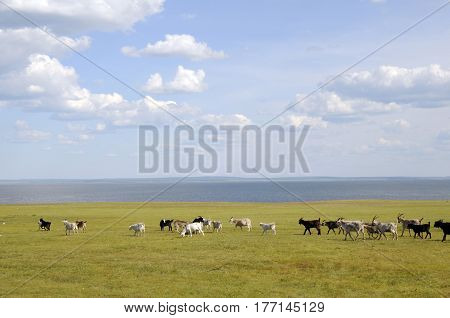 A herd of goats grazes by the lake on a green meadow