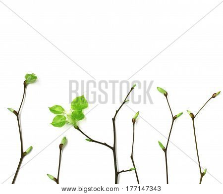 Young spring branches with leaves on white background vertically arranged top view