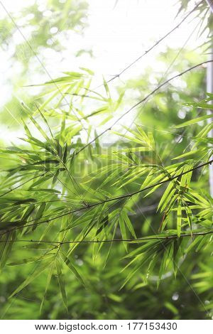 Bamboo tree of Bright green in public garden at Thailand.