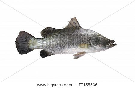 White sea bass fish isolated on white background and have clipping paths to easy deployment.