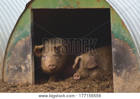 Herd of pigs on a farm in Devon