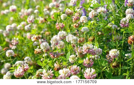 White clover Latin Trifolium pratense. A plant of the genus Clover the legume family subfamily butterfly.