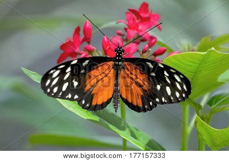 An Orange Longwing Butterfly on red flowers in a garden.