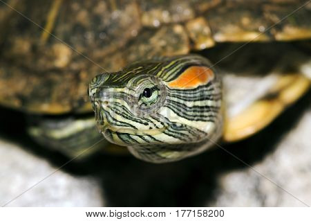 A close-up of a Red-eared Slider turtle.