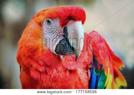 A close-up of a colorful Scarlet Macaw.