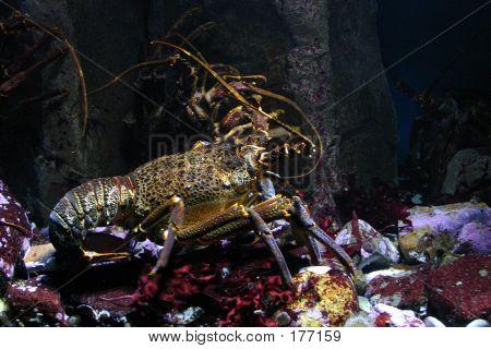lobster on ocean floor ** Note: Slight graininess, best at smaller sizes poster