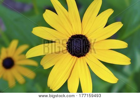 A close-up of two Black-eyed Susan flowers in a garden with a green background.