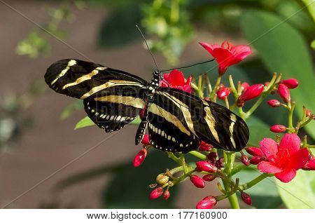 A Zebra Longwing Butterfly on red flowers in a garden.