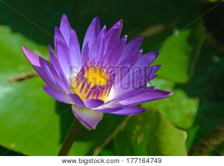 Purple petals, purple and yellow stamens and green leaves of a lotus flower