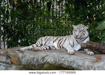 White tiger, The white tiger or bleached tiger is a pigmentation variant of the Bengal tiger