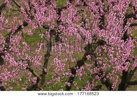Photo of peach blossom in Emilia-Romagna, Italy