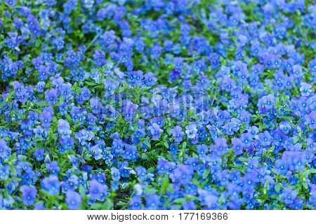 Background of blue forget-me-not flowers in the park