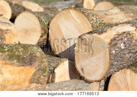 Open field with piles of newly felled tree trunks from a forestry plantation in a concept of renewable natural resources and the lumber industry