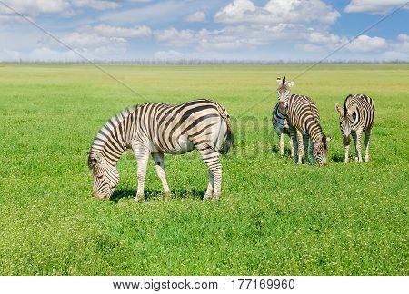 Several grazing Grevy's zebras in the spring steppe covered by grass and flowers in the nature reserve Askania-Nova