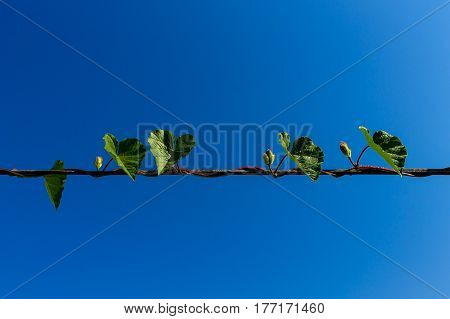 Creeping plant growing on the electric wire.