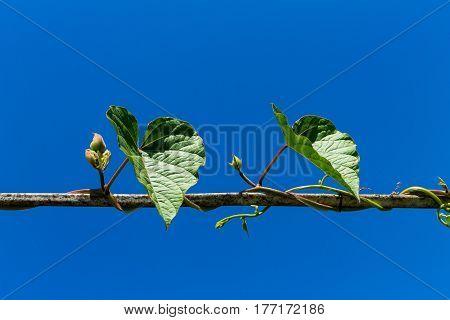 Creeping Plant