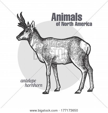 Pronghorn antelope. Hand drawing of wildlife. Animals of North America series. Vintage engraving style. Vector illustration art. Black and white. Isolated object of nature naturalistic sketch.
