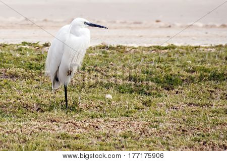 Snowy Egret Egretta thula standing on one leg on green grass
