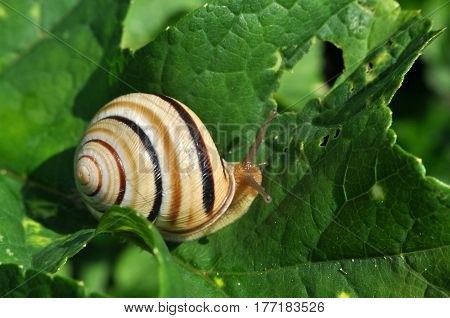 Curious snail in the garden on green leaf, Beautiful snail in natural habitat