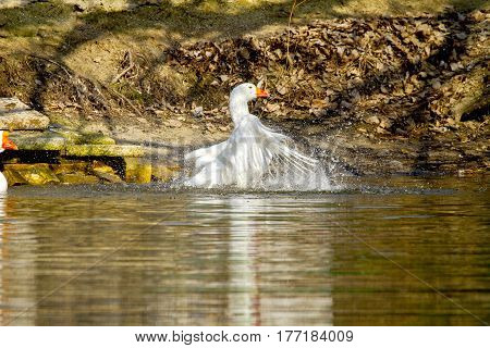 White Goose Swims On A Pond