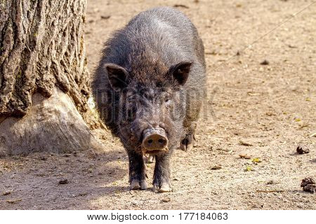 image mammal pet pig in a black enclosure