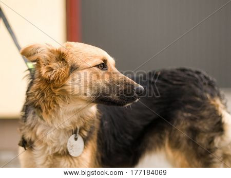 Mixed breed stray dog portrait outdoor on a leash in shelter with metal badge